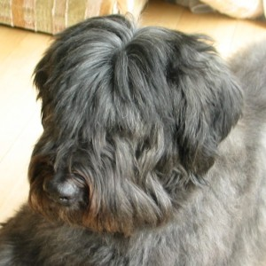 Long-haired, gray brindle Gadget face