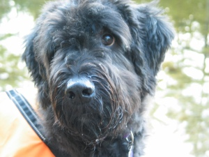 A close-up of Gadget's face, turning to look over one shoulder, covered in a bright-orange vest. His muzzle is wet, his beard dripping water. His ears are cocked. In the background are blurry green leaves.