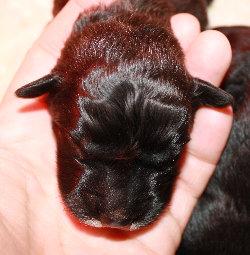 newborn puppy's head held in hand