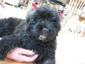 Baby Barnum, an adorable puppy that looks like a black teddy bear with a white chin. Sharon's hand is rubbing his chest. Her hand is bigger than his head!