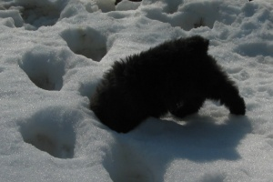 Puppy Barnum with Head in Snow Foot Prints