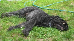 Barnum flopped on the lawn on his side
