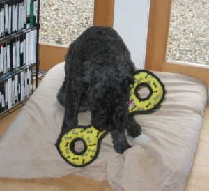 Barnum chews on the center bar of his yellow-and-black tug toy, decorated with black and white bones. He is sitting on a tan dog bed, with his head down.