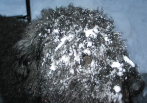 Side of Barnums face caked with thick snow