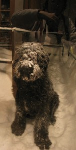 Barnum sits outside the storm door, a thick layer of snow on his coat, especially his face. In the relfelction of the glass, Sharon is visible holding up the camera, taking Barnum's picture