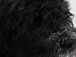 Extreme closeup of Barnum's face, side view, his brown eye peeking out from under the snow and hair