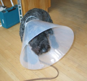 Barnum, a black brindle bouvier des Flandres with an extremely short haircut, lies on a wooden floor with an enormous translucent plastic cone over his head. His head and body posture all indicate a miserable, self-pitying, hang-dog expression.