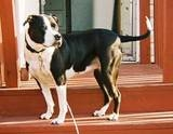 Lily, a striking black-and-white pit bull, with a very shiny, glossy coat and a long, skinny tail, stands with her head turned, looking alert, on red steps outdoors, apparently on a red-painted wood porch.