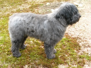 Gadget, a gray brindle bouvier, stands on the patchy brown spring lawn. His hair is very long and shaggy, and he looks a lot like an Old English Sheepdog in terms of the amount of fur.