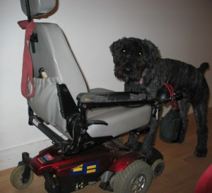 My daily use powerchair. Gray vinyl captains seat with pocket in the back, beat-up black foam armrests, single post connecting seat to base, which is candy-apple red, with gray front-drive wheels and rear casters, and a black footrest and anti-tip wheels in front. Barnum is standing with his front paws on the footplate, looking into the camera.