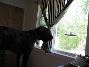 Barnum standing on my bed, looking at a female purple finch in the window feeder on a large picture window.