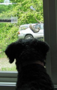 Back of Barnums head and shoulders, ears perked forward, as he stares out the window at a squirrel wrapped aroud the bttom of a wire feeder and a blue jay perched a foot above, on an ornamental tree.
