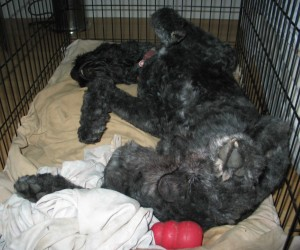 "Barnum inside his crate, lying in ""dead bug position,"" asleep with his head thrown back, all his legs in the air, just letting it all hang out! He is lying on a tan puffy dog bed inside the crate, and there is a red Kong against his butt."