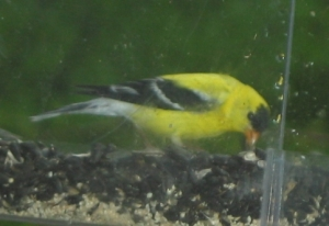 Closeup side view of male goldfinch. He is bright y ellow, with black wings, except for two narrow white wing bars, a black cap on his head, and a whiite rump and tail feathers. He has an orange beak. He's bent down, grabbing a sunflower seed.