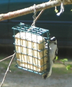 Front  view of downy woodpecker partially obscured by a square-shaped green wire suet feeder, which she is holding on to vertically, with her head near the top and her tail pointing at the bottom.. She is about 6 inches long, with a white belly, and a black and white striped head. You can just see the base of her long black bill. The rest is hidden in the suet.