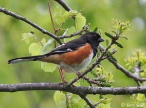 An eight-inch long bird, black on head, chest, and long tail. Sides rufous (rusty red), belly white. Red eye. In this picture, perched on tree branch.