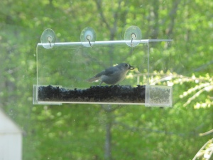 Tufted titmouse, side view, in window feeder, holds seed in beak