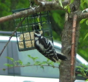 The back of a female downy woodpecker, eating from a wire mesh suet feeder. Her back is white, which is mostly obscured by her long wings, which are blck with white bars, creating a sort of ladder-like effect. Her tail is long and black on the back and white underneath.