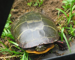 Small turtle from the front and above. Dark olive shiny shell with thin yellow lines making squares, yellow-orange inner shell visible under its head, which is mostly drawn in is dark olive with yellow stripes. Front feet are out, dark olive with bright red stripes. It does not look happy.