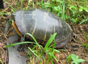 Side view of the turtle, showing her hind feet, which are leathery-looking and sort of flat with long claws, and a long, pointy tail. From this angle you can also see more clearly the yellow of her inner shell at her front, and the pattern of red squares all around the rim of the upper shell, which is quite lovely.