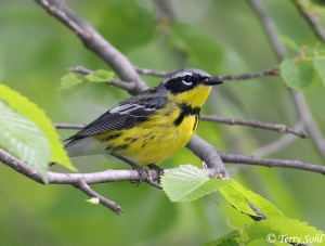 Five inch bird with long, pointy, narrow beak. Black mask across eyes, white eyebrow, bright yellow throat and belly, black back with white wing bars. Sitting on narrow tree branch.