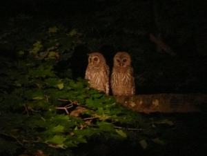 "Night-time picture of two barred owls sitting right next to each other on a large, horizontal tree limb. Around them are leaves. They are highlighted in the center in light, and all around them is increasing darkness. One is looking down. The other is looking slightly down and to the side. They are clearly ""a couple."""