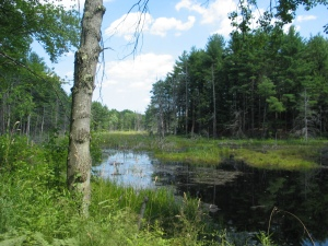 A marsh with tall green grass on the left, evergreens on both sides, water stretching as far as can be seen, with water plants and algae floating here and there, and the gray trunk of a tree in the foreground. The sky is blue and partly cloudy. It's a picture that bursts with life, although it also appears very serene; no ripples on the water.