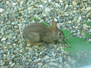 A small brown cotton-tail rabbit, ears up, stands on an expanse of gravel - rounded pebbles of gray, white, and other natural colors - nibbles on a long green vine.