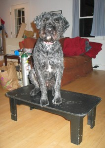 A black-painted wood coffee table with Barnum sitting on it. He's looking directly into the camera. It's a rectagular table, and Barnum's is sitting mostly on the narrower part, but cheating a little by being slightly diagnonal, so his butt is at one corner and his right front paw is just barely hanging over the middle of the other side.