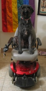 Barnum sits on gray vinyl foam van seat of power wheelchair. He is sitting very tall, right in the center, with his back against the back rest. Black foam armrests on either side, cherry-apple red base, gray wheels, and black foot plate. Barnum's expression is one of a dignified bouvier.