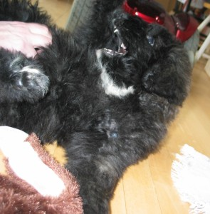 Nine-week old fuzzy black puppy with white chin and chest has his mouth swung open and wide toward a hand that is tickling his belly. His pointy puppy teeth are quite visible.