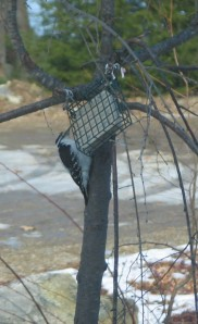 Hairy woodpecker pecking at suet in a suet feeder on  small tree.