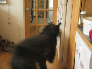 Barnum swinging into action, blurred hindquarters show movement as he grabs for the door pull on the refrigerator.