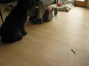 Barnum is in a sit. A pen is on the floor about four feet away. Sharon's legs and wheels are visible in the background.