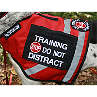 Side view of a red corduria vest covering the dog's chest and shoulders. A rectangular black patch with white capital letters says Training Do Not Distract with a red Stop sign. On the back is a smaller round patch which says Training Stop Do Not Pet.