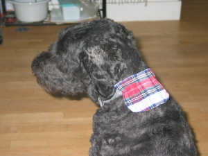 Barnum with a red plaid flannel pouch about 3 inches by 3 inches velcroed to the back of his collar.