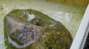 Close-up of the frog, head-on. The frog is sitting on its rock with its body in the water and its head sticking out.
