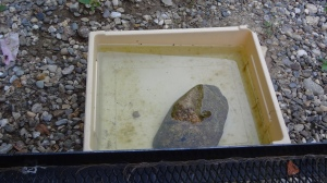 A rectangular tan basin surrounded by gray gravel. The basin is full of water and has some algae along the bottom. In the middle is a large brown rock, the top of which pokes out of the water. A little dark spot on the rock near where it pokes out of the water is the frog.