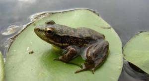 Northern Green Frog sitting on a lily pad.
