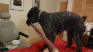 Barnum is now turned diagonal to finish pulling off the very long sock (about two feet long).