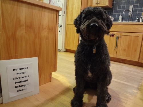 "Barnum sitting in the kitchen holding a metal fork in his mouth with two pieces of food on the fork. Sign says, ""Retrieves metal silverware (without licking it clean)."""