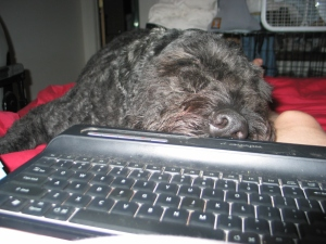 Barnum lying on Sharon's bed with his chin on her computer keyboard in her lap.