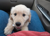 An 8-week-old Golden Retriever puppy's head and front paws are between my blue-jean clad legs. Behind him is the glove box of our van; to the right side is the van door handle. My red fleece jacket is visiible at the bottom of the picture.