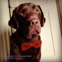 Dark brown chocolate Lab Guide Dog Jack wearing his rusty-orange crocheted bow tie around his neck.