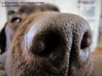 Super-close up of Chocolate Lab Jack shoving his big brown nose into the camera lens - the photo is so close that all the pours of his nose skin are visible clearly, while the rest of his head is nearly entirely out of focus in the background.